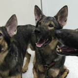 Narcotics Detection Dogs need hip replacements